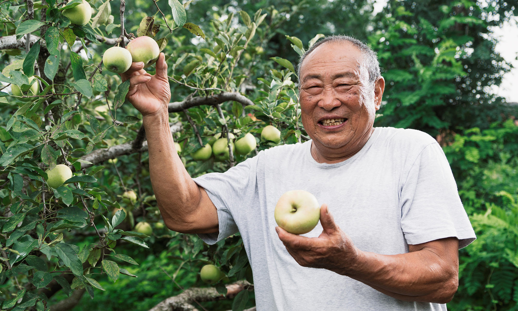 Senior man picking green apples.